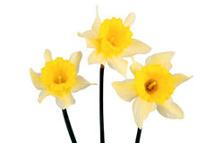 Three yellow daffodils on a white background Royalty Free Stock Images