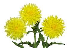 Three Yellow Dahlia Stock Photo