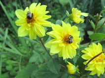 Three yellow dahlia full blossom & two buds & Bees Royalty Free Stock Images