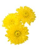 Three yellow daisy Stock Photo