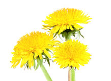Three yellow dandelion. Royalty Free Stock Images