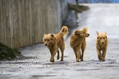 Three yellow dogs pet with puffy tails outdoors.  Royalty Free Stock Photo