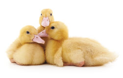 Three yellow ducklings. Royalty Free Stock Photo