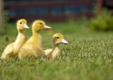 Three yellow ducks Stock Photos