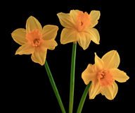 Three yellow flowering daffodils Stock Images