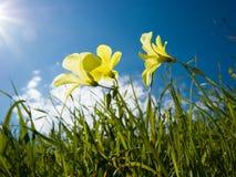 Three yellow flowers of clover Stock Photo