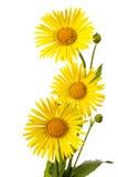 Three yellow flowers Stock Image