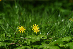 Three yellow flowers. On a sunny spring day Stock Images