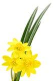Three yellow flowers. Stock Image