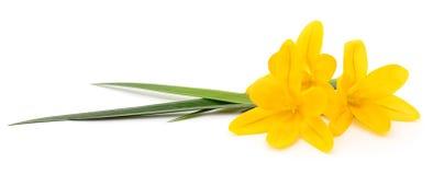 Three yellow flowers. Stock Photos