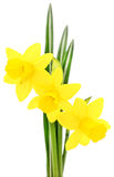 Three yellow flowers. Royalty Free Stock Images