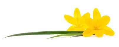 Three yellow flowers. Royalty Free Stock Photos
