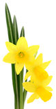 Three yellow flowers. Royalty Free Stock Photography