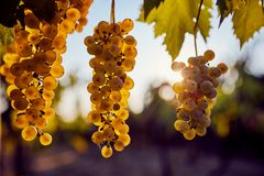 Three yellow grapes hanging on the vine. A bunch of yellow grapes hanging on a vineyard royalty free stock photo