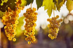 Three yellow grapes on a vineyard with sunlight. In the background royalty free stock photography
