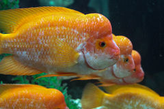 Three yellow hump sea fish Stock Photography