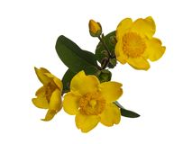 Yellow Hypericum Hidcote  flowers isolated on white stock image