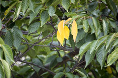 Three yellow leaf. An image of three yellow leaf at a tree Stock Images