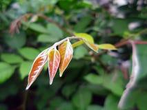 Three yellow leaf Royalty Free Stock Image