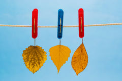 Three Yellow Leaf Suspended From A Clothesline Using Clothespins Royalty Free Stock Images