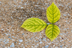 Three Yellow leaves Royalty Free Stock Images