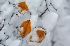 Three yellow leaves covered with snow close-up. Winter Royalty Free Stock Images
