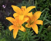 Three yellow lilies in the garden Royalty Free Stock Photos