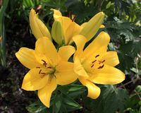 Three yellow lilies in the garden Royalty Free Stock Photo