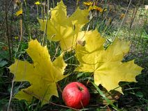 Three yellow maple leaves. And a red apple royalty free stock photos