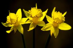 Three yellow Narcissus on a brown background royalty free stock photo