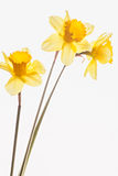Three yellow narcissus. Three yellow daffodils in spring Royalty Free Stock Image
