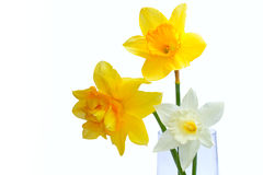 Three Yellow Narcissus isolated Stock Photos
