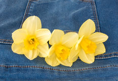 Three Yellow Narcissus in a Jeans Pocket. Closeup of three beautiful yellow narcissus flowers in a new blue denim jeans pocket with copy space stock image