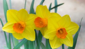 Three yellow orange Daffodils Royalty Free Stock Images