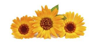 Three yellow-orange flower calendula Stock Photo
