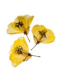 Three yellow primrose Royalty Free Stock Photo