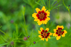 Three yellow and red flowers. Photographed from above, isolated from background by shallow depth of field Stock Images