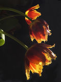 Three yellow - red tulips on a dark background Stock Images