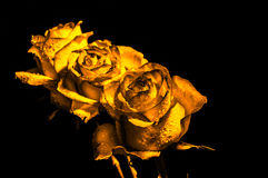 Three yellow roses Royalty Free Stock Photography