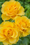 Three yellow roses. Drops of morning dew on the flowers of yellow roses Stock Image