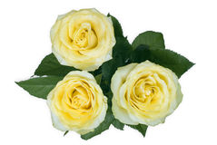 Three yellow roses Stock Image