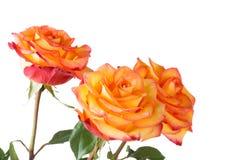 Three yellow roses Stock Photos