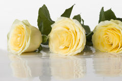 Three yellow roses Royalty Free Stock Images