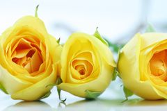 Three yellow roses on white. THree beautiful yellow roses lined next to each other, on white Royalty Free Stock Photography
