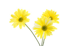 Three Yellow Shasta Daisy Flowers stock image