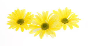 Three Yellow Shasta Daisy Flowers Royalty Free Stock Images