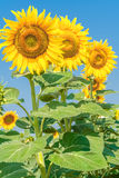 Three yellow sunflowers. On a background of blue sky Stock Photography