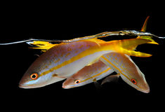 Three yellow tail snappers on black background Royalty Free Stock Photography