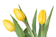 Three yellow tulips Royalty Free Stock Images