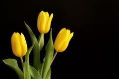 Free Three Yellow Tulips Stock Photos - 13730783
